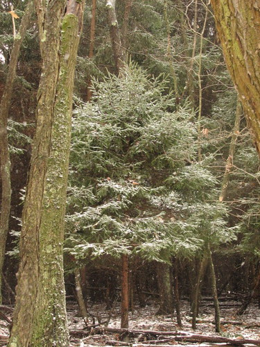 Snow on conifer