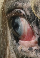 Horse eye - Red King Bar (forestsoul) Tags: horses pets eye animals slovenia loh horsesrule forestsoul