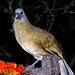 Belize-0959 - Plain Chachalaca