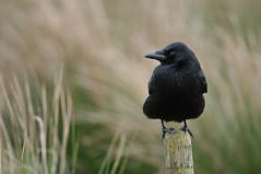 Carrion Crow (Corvus corone corone) (m. geven) Tags: nikon groningen soe d300 carrioncrow