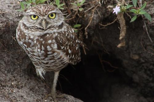 burrowing owls 1-26-08 113