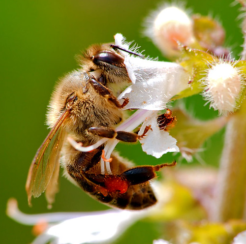 Bee on Basil (more photos on comments) (by Chaval Brasil)