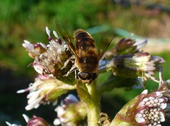 Drone fly on colt's foot (sam2cents) Tags: hoverfly coltsfoot dronefly