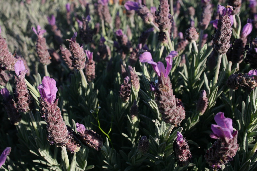 Lavandula stoechas 'Otto Quast' - Otto Quast Spanish Lavender