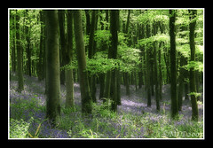 Bluebell Woods...