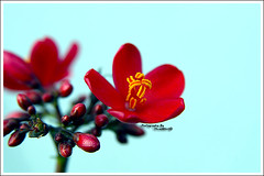 .Mnaat.elGalb. (MiracleGirl) Tags: blue red flower macro love fleur beautiful beauty focus zoom background details flor miraclegirl luvly warda galb 7amra wardah byootiful elgalb byooty mnaat