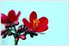 .Mnaat.elGalb. (MiracleGirl) Tags: blue red flower macro love fleur beautiful beauty focus zoom background details flor miraclegirl luvly warda galb 7amra wardah byootiful elgalb byooty mnaat