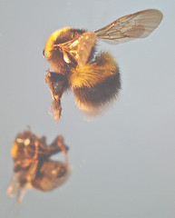 hover_bee (Urbanimp) Tags: orange black insect mirror wings flight bee bumblebee