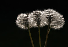 Blowballs (justfordream) Tags: nature natur dandelions pusteblumen blowballs
