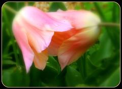 Whispering Tulips (Kurlylox1) Tags: pink flowers rain spring whispering tulips raindrops bent secrets nodding blushing teteatete gossiping abigfave platinumphoto impressedbeauty diamondclassphotographer platinumphotograph qualitypixels