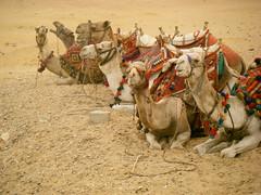 Camels (joepyrek) Tags: sahara sphinx temple memphis egypt camel horus pyramids karnak aswan luxor ramses coptic saqqara valleyofthekings hatshepsut faluka komombo edfu dendara lakenassar