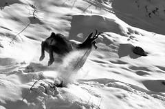 Camosci11 (Lunghefocali.snc) Tags: camoscio rupicaprarupicapra dolomiti valdifiemme trentino altamontagna biancoenero wildlife nature blackwhitephotos