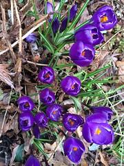 Crocus eruption ❤️ (markshephard800) Tags: spring flora flores fiori fleurs bloemen blumen flowers purple crocuses crocus