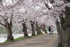 IMG_2285 (emtem) Tags: japan aomori  cherryblossom sakura hirosaki