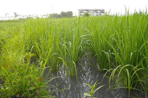 水稻和野草都長高了…