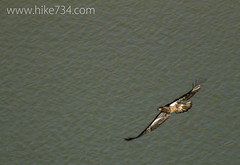 "Bald Eagle • <a style=""font-size:0.8em;"" href=""http://www.flickr.com/photos/63501323@N07/13128605745/"" target=""_blank"">View on Flickr</a>"