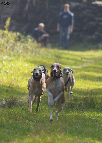 Whippets in action