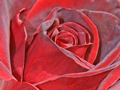 heart of rose (Lyubov) Tags: flowers red roses flower nature beautiful rose ilovenature amazing blueribbonwinner supershot flowerotica thebiggestgroup golddragon mywinners platinumphoto superaplus diamondclassphotographer flickrdiamond empyreanflowers searchandreward theunforgettablepictures queenrose flowersmakeeveryonehappy wonderfulworldmix thegoldenmermaid theperfectphotographer dragongold dragongoldarard dragoaward