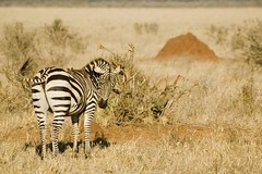 (Nicola Zuliani) Tags: africa fauna kenya natura safari zebra animali animale tsavo tsavoeast tsavoest nizu nicolazuliani wwwnizuit