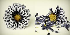 Life & Death (Villi.Ingi) Tags: life flower macro closeup death flora diptych muted blm