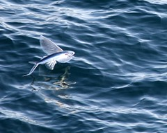 Flying Fish (Team Hymas) Tags: pacific flyingfish shirleen