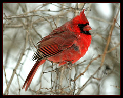 Cardinal in a Snow Storm (nature55) Tags: fab storm nature birds outdoors snowstorm aves northerncardinal naturesfinest supershot specanimal nature55 abigfave twtmeiconoftheday anawesomeshot colorphotoaward impressedbeauty superbmasterpiece avianexcellence