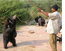 Kinship Circle - 2007-11-30 - India's Battered Sloth Bears