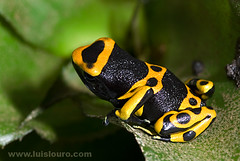 Dendrobates leucomelas (Lus Louro) Tags: wild color macro nature animals yellow closeup ilovenature rainforest colorful venezuela wildlife amphibian frog planet tropical poison dart toxin wildlifephotography anuran abigfave bfgreatesthits