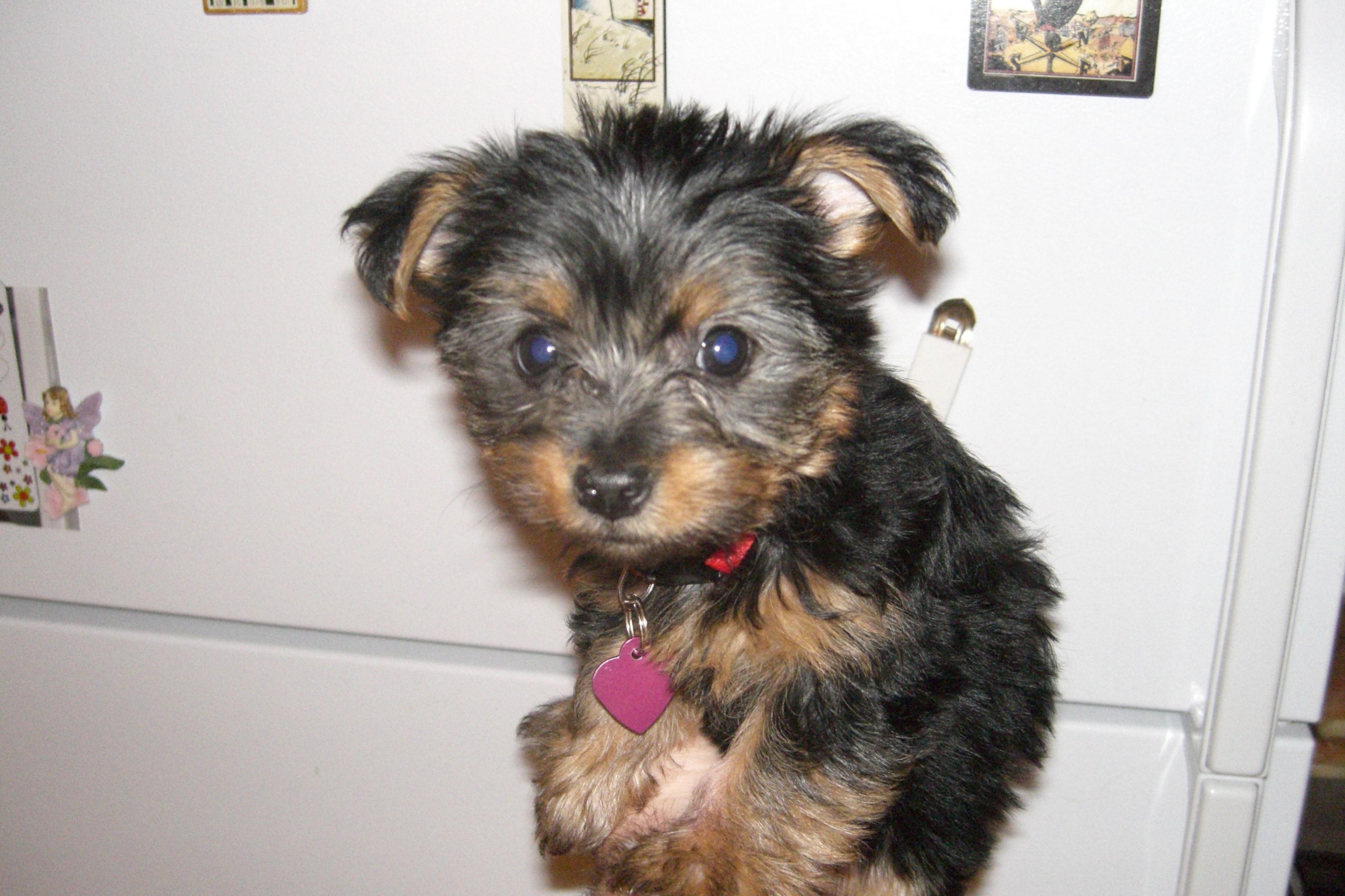 Cute little Silky Terrier puppy with pink collar