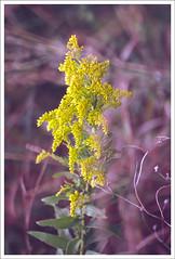 xp0075tw (hz536n/George Thomas) Tags: autumn flower fall film oklahoma yellow flora fuji stillwater wildflower 2007 sensia canonef70200mmf4lusm