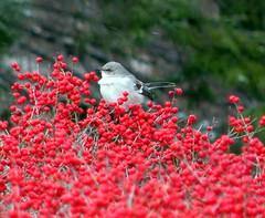 Northern Mockingbird and berries