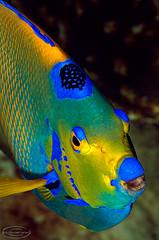 qangel8016pcw (gerb) Tags: blue fish eye beautiful yellow topv111 510fav cool nice topv555 topv333 underwater lovely1 patterns topv999 scuba loveit scales topv777 d200 angelfish bonaire aquatica queenangel 70180mmf4556dmicro tvx diamondclassphotographer flickrdiamond thebestpicturegallery