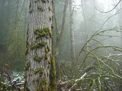 Big leaf maple trunk