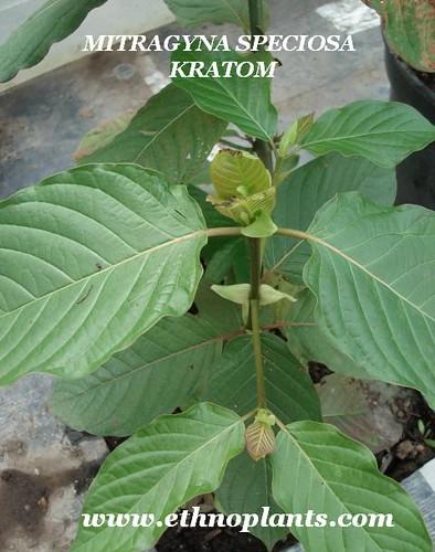 Kratom  Mitragyna speciosa KRATOM ethnoplants picture photo bild