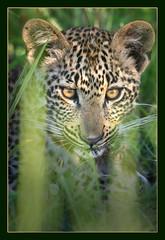 Ntimba's cub (hvhe1) Tags: africa nature cat southafrica cub bravo quality wildlife young leopard bigcat predator babyanimal naturesfinest flickrsbest specanimal animalkingdomelite hvhe1 hennievanheerden