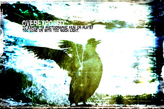 Overexposed - Dictionary of Image (s0ulsurfing) Tags: blue light sunlight blur bird art texture beach birds silhouette illustration photoshop bay design coast graphicdesign wings artwork focus exposure glow dof graphic bright image artistic bokeh acid creative beak feathers silhouettes manipulation ps creation coastal definition overexposed coastline layers february 2008 dictionary scratchy shimmering shimmer freshwater guillemot commonmurre overexpose uriaaalge auk freshwaterbay s0ulsurfing commonguillemot thedictionaryofimage