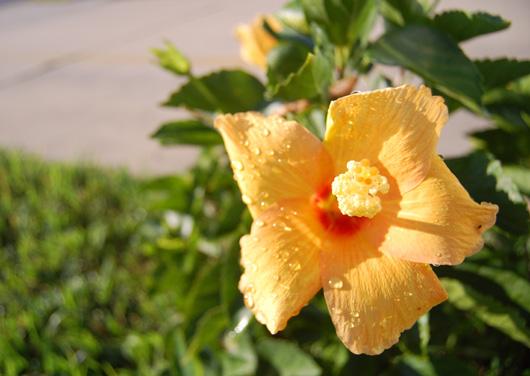 hibiscus026