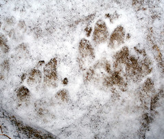 PawPrints_snow31208