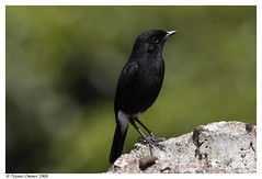 Pied bushchat... male (Naseer Ommer) Tags: india male water birds fauna canon kerala aves waterbirds southindia westernghats highaltitude naturesfinest piedbushchat saxicolacaprata thewesternghats naseerommer malayalikkoottam