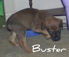 Buster (muslovedogs) Tags: dogs puppy mastiff rottweiler zeusoffspring myladyoffspring
