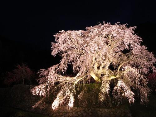 又兵衛桜(ライトアップ)-04