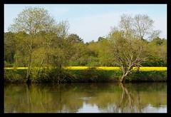 Les bords du Cher vers Thse (Loir et Cher). (sybarite48) Tags: rio ro river fiume rivire fluss lecher rivier nehir colza   rzeka