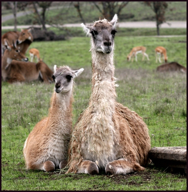 Mother and Child - Guanacos