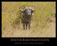 Determination (kenwoghiren) Tags: poster buffalo flickr bigfive