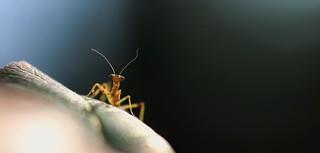 Mantis Nymph on a Leaf