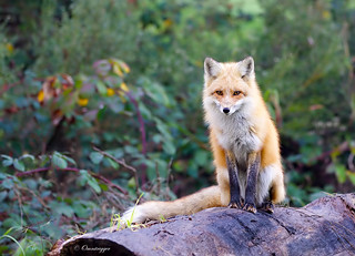 Roter Fuchs (red fox)