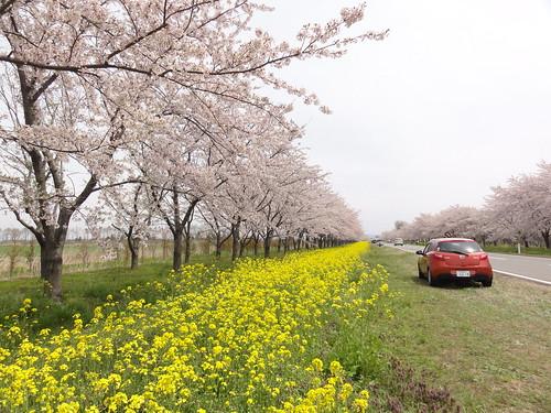 大潟 - 桜・菜の花ロード