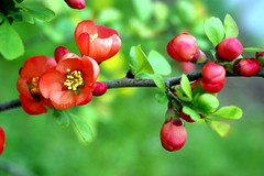quince blossom (ken of the lake) Tags: food plant flower green nova coral garden spring blossom fresh scotia herb quince