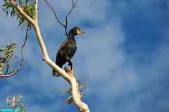 TreeBird (mcshots) Tags: california travel winter sky usa tree bird nature birds animals clouds coast wings wildlife stock feathers socal mcshots losangelescounty