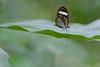 Clearwing (ggallice) Tags: clearwing nymphalid ithomiine butterfly mariposa alas transparentes nymphalidae hypoleria sarepta taxonomy:binomial=hypoleriasarepta manunationalpark peru amazon rainforest jungle selva southamerica